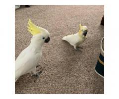 Sevimli kakadu papağan mevcut